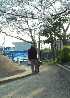桜 七分咲き