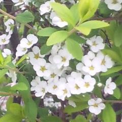 今年も桜咲く